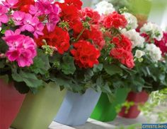 to Bring Geraniums Indoors for Winter What's so great about geraniums? Well, if you took cheerfulness, contentment and good old-fashioned stability, and made a flower, geraniums would be it. Container Gardening Vegetables, Succulents In Containers, Container Flowers, Container Plants, Vegetable Gardening, Growing Geraniums, Potted Geraniums, Potted Plants, Fall Planters