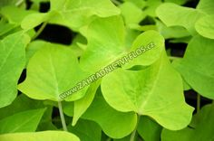 Kultivar 'Marguerite' je krásná bujně rostoucí rostlina, která na první pohled uchvátí zajímavě zbarvenými srdčitými listy. Hustě nasazené limetkově zelené listy dodávají až 80 cm dlouhým převisům na objemu a kompaktnosti. Květy jsou kalichovité,...