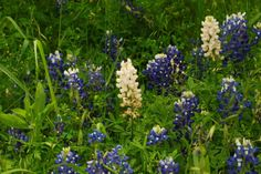 Albino Bluebonnets at Cedar Hill State Park near Duncanville, TX - May 2010