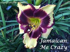 Jamaican Me Crazy photo by HappyGoDaylily