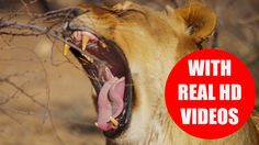 Can you name the big five in Africa? This educational video teaches children the big five game animals of Africa. #bigfive #africa #safari #children
