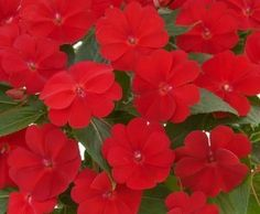 New Guinea Harmony® Red Impatiens