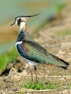 Northern Lapwing  The images in migratory birds.  The bird species are gong Vanellidae  Description: The frontal crest length black. Sam...