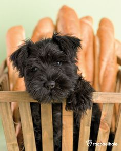 Neddy (Schnauzer) - Neddy likes to chase French bread sticks  (pic by Rachael Hale)