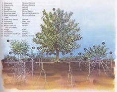 Food forest diagram showing root system
