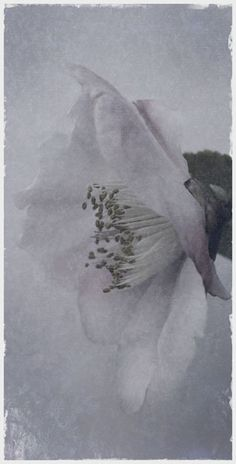 """Flowers in Neutral Moment-2015 """" Camellia Japonica-#6 """" Archival pigment print Printed on cotton rag fine art paper Photo by Soichi Oshika"""