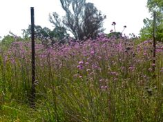 Small field of purple drying flowers