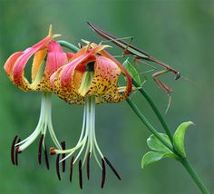North Carolina designated the Carolina Lily (Lilium michauxii) as the official State wildflower in 2003. This spectacular wildflower grows throughout North Carolina, from the forests and hills of Cherokee County to the coastal swamplands of Hyde and Pamlico Counties.  													The stem of the Carolina lily can grow up to 4 feet high and can have up to 6 flowers at the summit (1-3 is more common). The flower petals are brilliant red-orange with brown spots and curl back to overlap.