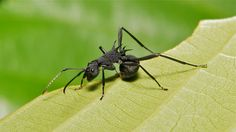 Spiny Ant (Polyrhachis sp., Formicidae)