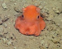 Niedlicher Knubbel: Diesen Tintenfisch möchte eine Forscherin des Monterey Bay Aquarium gern Opisthoteuthis Adorabilis nennen.