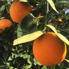 dc4bf775ff20 flourpower  fannylikes  Orange tree in full bloom with that.