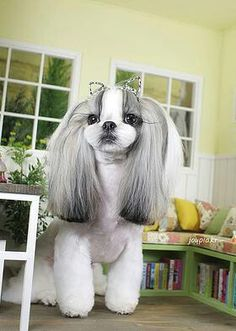 Shih tzu Source by kbelshee The post Shih tzu appeared first on Abbi& Kennels. Puppies And Kitties, Cute Puppies, Cute Dogs, Dog Grooming Styles, Pet Grooming, Grooming Salon, Love My Dog, Shih Tzu Puppy, Shih Tzus