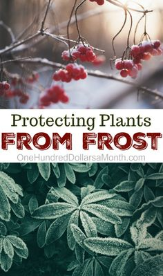 Protecting Plants From Frost - One Hundred Dollars a Month