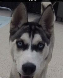 Marga - Double delight with sisters! is an adoptable Siberian Husky Dog in Carrollton, TX. Marga and her littermate Rita were picked up together as strays. Approximately four months old, Marga is a bl...