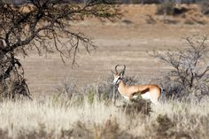 Picture perfect Springbok in the field Beautifully framed Picture perfect Springbok standing and staring.