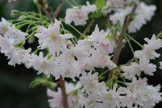 Japaninkääpiökirsikka 'Oshidori' | Viherlassila