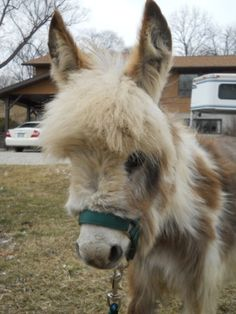 Miniature Donkeys and Micro-Mini Donkeys For Sale in Letts, IA | Sunny G. Acres