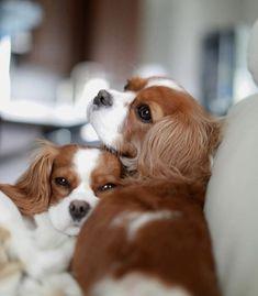 Cutest couple I've ever seen! Cavalier King Spaniel, Cavalier King Charles Dog, King Charles Spaniel, Cute Baby Dogs, Spaniel Puppies, Cute Dogs And Puppies, Doggies, Cute Animal Photos, Cute Little Animals