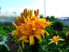 Лилия, у которой 42 цветка