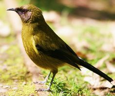 Birds of the World: New Zealand bellbird