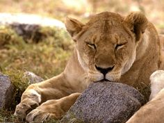 lion pictures to download, 1600x1200 (480 kB)