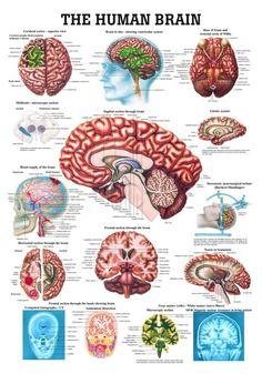 medical art Medical chart medical anatomy by TheAtomicAttic Human Skull Anatomy, Human Brain Anatomy, Human Anatomy And Physiology, The Human Brain, The Brain, Human Brain Parts, Brain Gym, Medical Art, Medical Technology