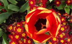 What beauty! The Tulip Festival at Powerscourt Gardens, Ireland www.powerscourt.ie