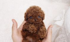 Micro Teacup Poodle, Teacup Poodles For Sale, Teacup Poodle Puppies, Micro Teacup Puppies, Poodle Puppies For Sale, Tea Cup Poodle, Cute Puppies, Cute Dogs, Corgi Puppies