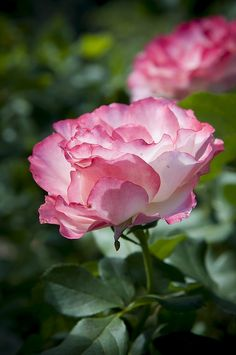 looks like a Handel climbing rose Rose, I have just ordered one for my garden.