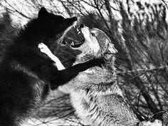 mysteriös und faszinierend zugleich, #Wölfe :)