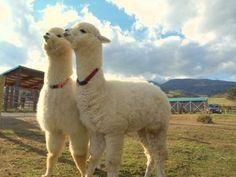 Cute Animals – Helping to Stop Animal Cruelty Alpacas, Funny Animal Memes, Funny Animals, Cute Baby Animals, Animals And Pets, Cute Alpaca, Super Cute Puppies, Animal Help, Cute Piggies