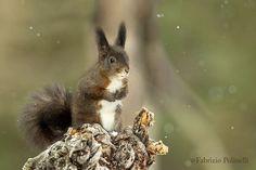 scoiattolo rosso by Fabrizio Polinelli on 500px