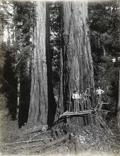 Old time loggers posing in front of a giant redwood