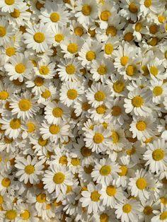 Daisy Wallpaper, Wallpaper Backgrounds, Aesthetic Backgrounds, Aesthetic Wallpapers, My Flower, Flower Power, Sunflowers And Daisies, Flower Aesthetic, Flowers Nature