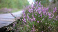 Heideblüte in der Lüneburger Heide. Location: Pietzmoor, Schneverdingen, Niedersachen, Germany TAGS: Heather, Erica, Landschaft, Natur, Blumen, Flowers
