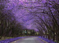 purple tree tunnel