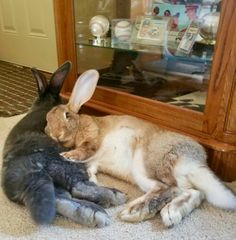let me know by leaving a comment xxxx Cute Baby Bunnies, Funny Bunnies, Cute Funny Animals, Bunny Bunny, Bunny Rabbits, Animals And Pets, Baby Animals, Flemish Giant Rabbit, Giant Bunny