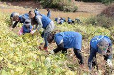 태백 하나님의교회(안상홍증인회) 성도 30여명 농촌일손돕기 봉사활동