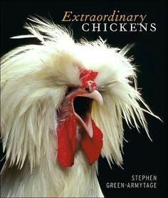 Booktopia has Extraordinary Chickens by Stephen Green-Armytage. Buy a discounted Hardcover of Extraordinary Chickens online from Australia's leading online bookstore. Fancy Chickens, Chickens And Roosters, Pet Chickens, Raising Chickens, Chickens Backyard, Silkie Chickens, Gallus Gallus Domesticus, Chicken Breeds, Chicken Coops