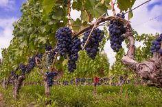 Malbec grapes ready for harvest in Mendoza, Argentina. Harvest Time, Mendoza, Vineyard, Fruit, Harvest, Driveways, Argentina, The Fruit