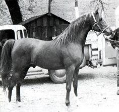 SERAFIX #8955 (Raktha x *Serafina, by Indian Gold) 1949-1973 chestnut stallion bred by Crabbet; imported to the US 1954 by John Rogers. Sired 271 registered purebreds in the US.