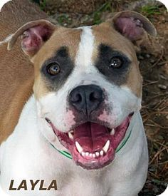 Mason, MI - American Staffordshire Terrier/Boxer Mix. Meet Layla, a dog for…