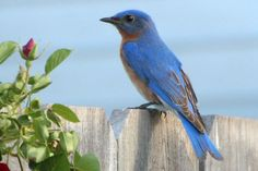 Easy Ways to Attract Bluebirds to Your Backyard: It can be easy to attract bluebirds.