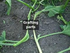 ONLY for giant vegetable growers! Video tutorial how to connect 2 or more pumpkin/squash plants by grafting (works and with other. Baby Tomatoes, Growing Tomatoes, Cherry Tomatoes, Tomato Seedlings, Tomato Plants, Tomato Growers, Planting Pumpkins, Squash Plant, Winter Crops