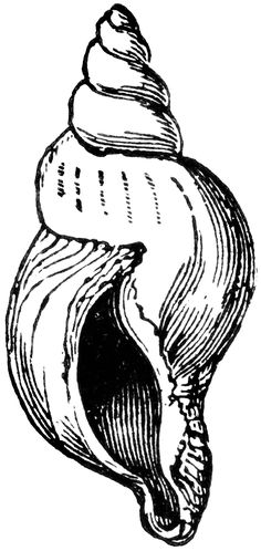 Conch Shell Clip Art   Reverse Shell