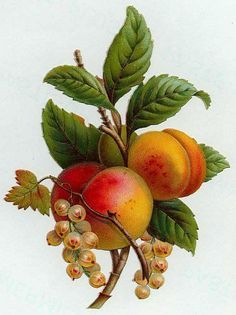 Victorian Flower, Peaches Blossoms, Vintage Peaches Fruit