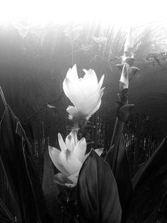 Curcuma flower
