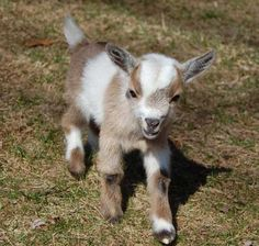 miniature+dwarf+animals | Nigerian Dwarf Goats | Teacups,Mini's & Dwarf Animals