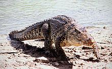 Cuban crocodile - Кубинский крокодил — Википедия