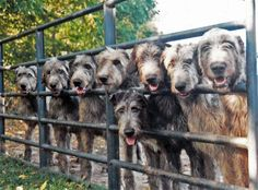 TomahawkeIrishWolfhounds.com  When all the dogs we have now are gone..........we will get an wolfhound pup.